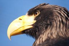 Overzeese van Steller adelaar royalty-vrije stock afbeeldingen