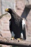 Overzeese van Steller adelaar Stock Afbeelding