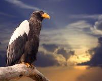 Overzeese van Steller adelaar Royalty-vrije Stock Afbeelding