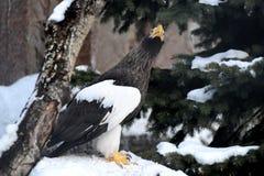 Overzeese van Steller adelaar Stock Foto