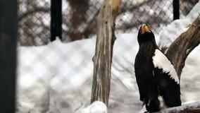 Overzeese van Steller adelaar stock footage