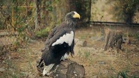 Overzeese van Steller adelaar stock videobeelden
