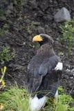 Overzeese van Steller adelaar royalty-vrije stock foto's