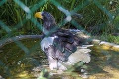 Overzeese van Steller adelaar in dierentuin Stock Fotografie