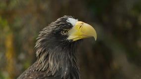 Overzeese van Steller adelaars dichte omhooggaand stock videobeelden
