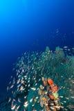 Overzeese ventilators en glassfish in het Rode Overzees royalty-vrije stock foto's