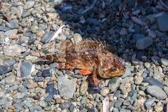 Overzeese vissen op de overzeese kust Stock Afbeeldingen