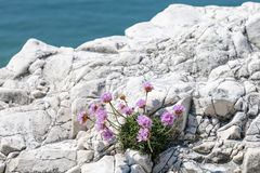 Overzeese Zuinigheidsbloemen die op een Klip groeien Stock Foto