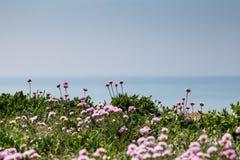 Overzeese Zuinigheidsbloemen met het erachter Overzees Stock Foto's