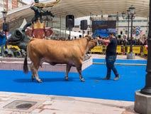OVIEDO, ESPAGNE - 12 mai 2018 : L'éleveur présente le champion Photos libres de droits