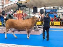 OVIEDO SPANIEN - Maj 12, 2018: Ð-¡ ows och tjurar som är bästa i dess avel royaltyfria bilder
