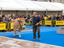 OVIEDO SPANIEN - Maj 12, 2018: Show av kor och tjurar som är bästa i dess arkivbilder