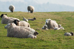 An Ovine family, resting in the Downs Stock Photography