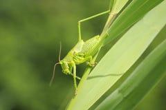 Ovipositor female Great Green Bush-cricket, Tettigonia viridissima. Macro close-up of a female Great Green Bush-cricket, Tettigonia viridissima with ovipositor stock image