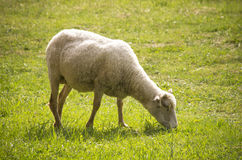 Ovis aries. Adult Ovis aries eating summer grass royalty free stock photography