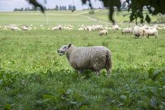 Ovis aries comune delle pecore di bianco che pasce sul pascolo Fotografie Stock
