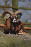 Ovis aries orientalis Stock Image