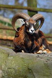 Ovis aries orientalis Stock Photos