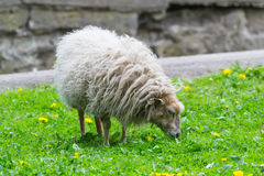 Ovis aries Ouessant Στοκ Εικόνες