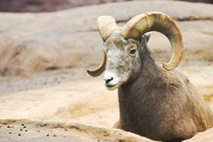 Ovis Canadensis. Male bighorn(lat:ovis canadensis) sheep resting in his environment Stock Image