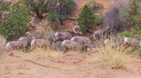 Ovis Canadensis Nelsoni de mouflons d'Amérique de désert photos stock