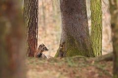 Ovis musimon Bella natura E Fotografia Stock Libera da Diritti