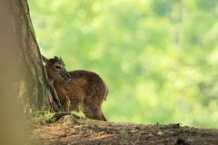 Ovis musimon Bella natura E Fotografie Stock