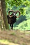 Ovis musimon Bella natura E Fotografie Stock Libere da Diritti