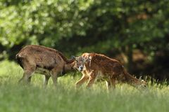 Ovis musimon Bella natura E Fotografia Stock
