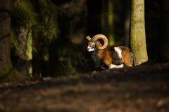 Ovis musimon La natura selvaggia della repubblica Ceca Natura libera Immagine del mammifero in natura Bella maschera Animale nel  fotografia stock