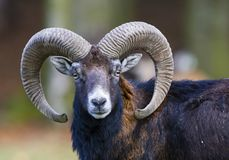 Ovis musimon Pallas  - deer. Deer European, shooting in the wild Royalty Free Stock Photos