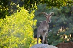 Ovis musimon on a rock. In the mountain stock photos