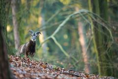 Ovis musimon. The wild nature of the Czech Republic. Free nature. Picture of mammal in nature. Beautiful picture. Animal in the wo. Ods. Deep forest. Mysterious royalty free stock photography
