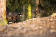 Ovis musimon. The wild nature of the Czech Republic. Free nature. Picture of mammal in nature. Beautiful picture. Animal in the wo. Ods. Deep forest. Mysterious royalty free stock image