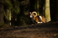 Ovis musimon. The wild nature of the Czech Republic. Free nature. Picture of mammal in nature. Beautiful picture. Animal in the wo stock photography