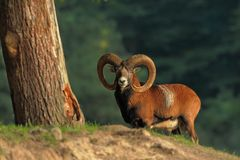 Ovis Musimon. Wild Nature Of Czech. Free Nature. Animal In The Forest. Autumn Colors. A Beautiful Shot Of An Animal.