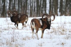 Ovis musimon in winter Royalty Free Stock Photography
