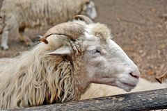 Ovis Sries Sheep Detail Portrait Domestic Stock Photo royalty free stock photography