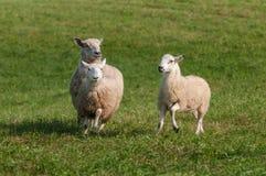 Ovisaries för tre får som framåtriktat körs Arkivbilder