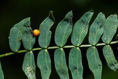 Ovo da borboleta comum de Birdwing imagem de stock
