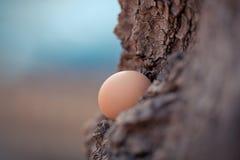 Ovo de galinhas de Brown em uma madeira Conceito imagens de stock royalty free