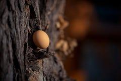 Ovo de galinhas de Brown em uma madeira Conceito fotografia de stock royalty free