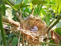 Ovo do ` s do pássaro no ninho pequeno Imagem de Stock