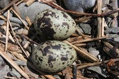 Ovos árticos da andorinha-do-mar Imagens de Stock