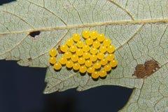 Ovos amarelos do inseto Foto de Stock Royalty Free