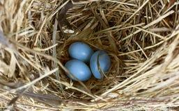 Ovos azuis do pisco de peito vermelho no ninho Imagem de Stock
