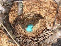 Ovos azuis em um ninho Fotografia de Stock Royalty Free