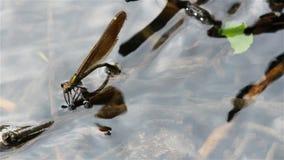 Ovos da configuração da libélula sob a água de acima filme