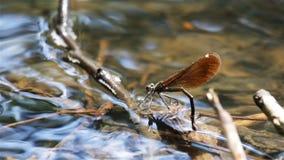 Ovos da configuração da libélula sob a água do lado video estoque