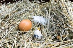 Ovos da galinha e de codorniz no feno Front View Feno, grama seca Fotografia de Stock